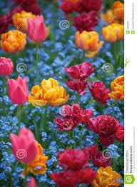 bright spring flowers colorful pink orange magenta tulips