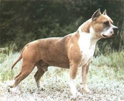 american pitbull terrier akc finwar u0027s whiskey jack