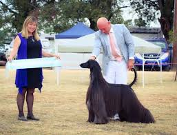afghan hound giving birth meet afghan hound tea one of the world u0027s most beautiful show dogs