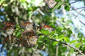 Monarch Migration Map Heading South Monarch Butterfly Migration Strange U0027s Florists
