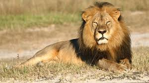 cecil the does killing lions help save them