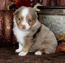 4 week old australian shepherd home color country aussies