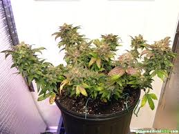 growing autoflower with led lights autoflowers and led grow lights pt 7 haze harvested growing
