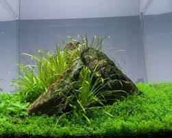 Plants For Aquascaping Hemianthus Callitrichoides Hc Growing Tips Aquascaping World Forum