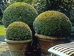 Topiary Plants Online - box buxus hedging and topiary plants for sale by mail order
