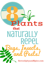 8 plants to repel bugs insects and pests roaches wasp and