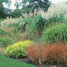 how to divide and maintain ornamental grasses thought garden