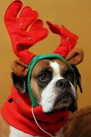 boxer dog xmas all i want for christmas is a boxer puppy u2013 owned by a boxer
