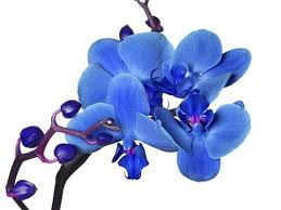 blue and purple orchids blue phalaenopsis orchids don t grow naturally