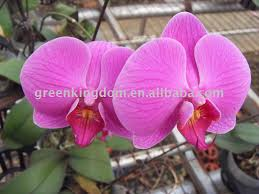 multi colored beautiful indoor plant phalaenopsis butterfly orchid