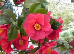 pink flower tree camellia flowers 47 pics