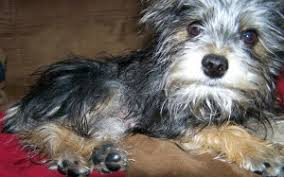 australian shepherd schnauzer mix snorkie yorkshire terrier and miniature schnauzer mix