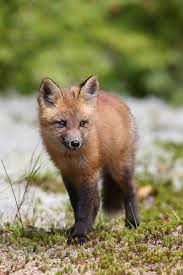 renard roux immature red fox red fox wildlife photography and