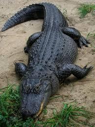 Interior Crocodile Alligator American Alligator Wikipedia