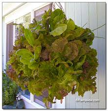 cute space saving way to grow lots of pretty lettuces for your