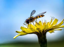 7 insect pollinators that aren u0027t bees or butterflies