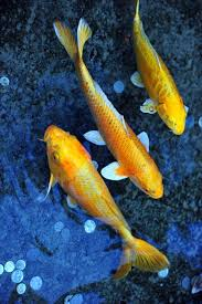 36 best koi fish images on japanese koi koi carp and