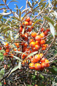native russian plants sea buckthorn tree u0027s seabuckthorn plants u0026 shrubs