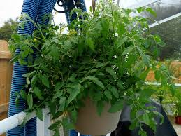 easy plants to grow on window sills u2013 grandfest