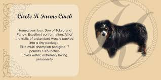 australian shepherd kansas circle k dads u2014 circle k farms teacup tiny toys toys and