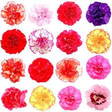 carnations in bulk wholesale carnations carnations in bulk wholesaleflowers net