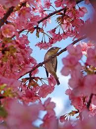 beautiful bird bird in tree blossoms cherry blossoms image