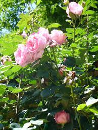 climbing roses garden mad