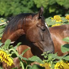 feeding your horse sunflower seeds ecoequine