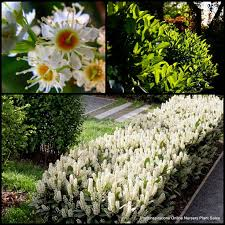 Fragrant Shade Plants - 813 best fragrant balcony plants images on pinterest balcony