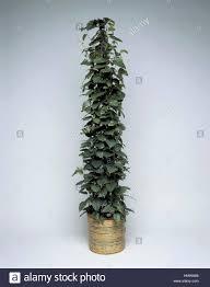 houseplants vitaceae kangaroo vine cissus antarctica stock