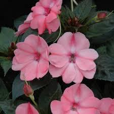 impatiens flowers compact blush pink impatiens live plant 2 5 inch pot