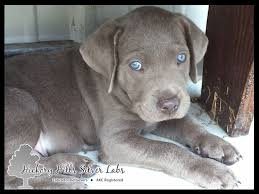 puppies indiana silver lab puppies now available hickory silver labs