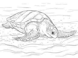 olive ridley sea turtle coloring free printable coloring pages