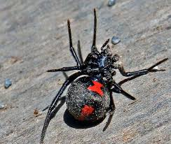 Black Widow Spiders Had A - student kills black widow spider at allegany high local news