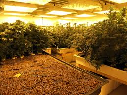 inside seattle u0027s first legal pot farm kuow news and information
