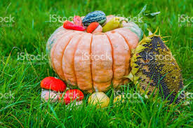 small pumpkins large and small pumpkins with ripe vegetables lie on the grass