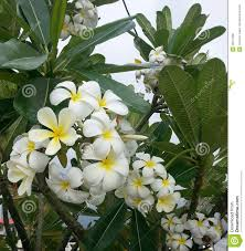 tree with white flowers plumeria tree with white and yellow flowers stock photo image of