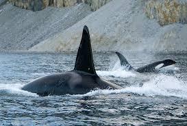 nature season 33 invasion of the killer whales press release