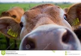 funny cow stock image image 1051411