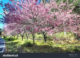 beautiful scenery pink cherry blossom trees stock photo 591720848