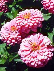 quick cut flowers garden org