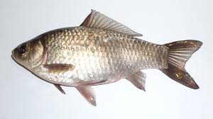 tilapia fish farming business how to start guide