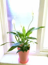peace lily poisonous indoor plants poisonous indoor plants that