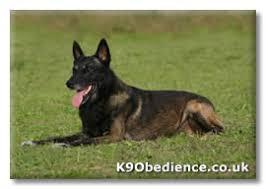 training a belgian sheepdog belgian shepherd malinois dog breed and training