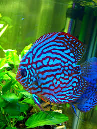 types of discus fish email this blogthis share to twitter share