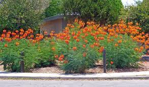 Yellow Flowering Bushes And Shrubs Orange And Yellow Flowers Arizona U2013 Tjs Garden