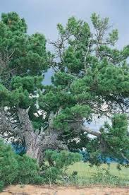 scots pine tree britannica