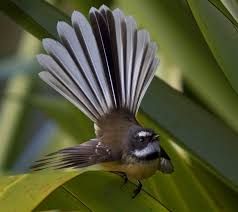 plants native to new zealand the tiny fantail of new zealand they are such friendly little