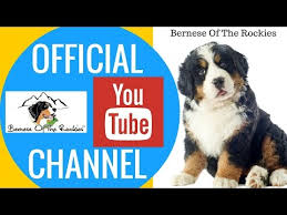belgian sheepdog club of the rockies bernese mountain breed video funnydog tv