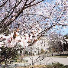 pku flower pku tree for anniversary celebration peking